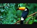 【究極の癒し】 雨音と熱帯雨林の鳥の鳴き声・ヒーリングBGM