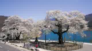 太平洋と日本海を桜で結ぼう ・   荘川桜と佐藤桜の物語