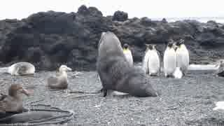 ペンギンに性的暴行を加えるアザラシ