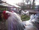 変なおじさんとこの 鶏さん162