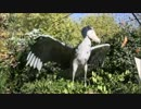 強風に飛ばされるハシビロコウ