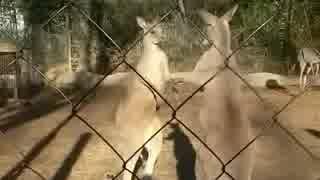 つっぱりプロレスのオオカンガルー(千葉市動物公園)