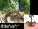 みかんの作り方 第1回 苗木の植え方
