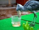 【閲覧注意】 ハシビロコウの捕食シーン 掛川花鳥園のフタバちゃん