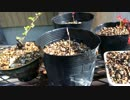 盆栽育成日記 02 Bonsai breeding diary