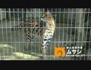【東山動植物園】#今日のサーバルキャット 3月まとめ