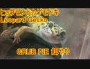 ヒョウモントカゲモドキ レオパ 餌のお時間です