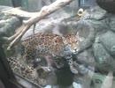 ジャガーの子供たち