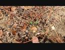 【食菌採取】海辺のキノコ狩り