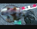 【釣り】アオリイカ1.810g(アジ泳がせウキ釣り)✿´◕‿◕`✿