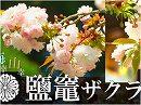 【海幸山幸の詩 #27】花と人とが支え合う~鹽竈(しおがま)神社の桜[桜H29/5/10]