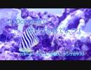 120cm水槽でサンゴを育てよう! part2 魚、サンゴ投入