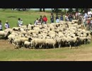 マザー牧場 羊の大行進@・w・@