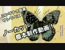 【標本の作り方】サトラペスを展翅してみた【海外のチョウ】