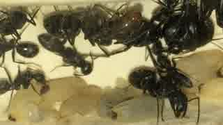 蟻戦争#132 兵隊アリ爆誕!~いびつで巨大な頭~編