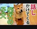 【柴犬の子犬】飼い主に犬語で話しかけてくる