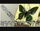 日本の美蝶!ミヤマカラスアゲハの標本制作【展翅/雑談/制作動画】