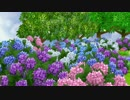 ECO Hydrangea macrophylla