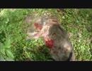 狩猟 猟犬とゆく猪猟 Part55