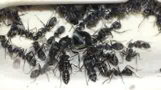 蟻戦争#154 クロヤマアリの引っ越し&アリはお酒を飲む?編