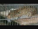 ジャガーのアスカ
