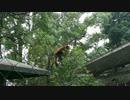 木登りをするレッサーパンダさん