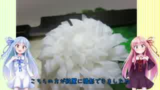 うちの琴葉姉妹は食べ盛り #14.5 「大根でつくる菊の花」