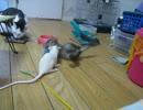 巨大なネズミと戦う猫。