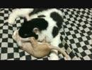 【猫丸一家】ちゃちゃまる日記34