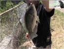 【沖縄の釣り番組】第16回,sacomの「釣り乙!これって釣りでしょ?」in 比謝川[桜H29/8/26]