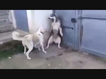 パパ犬が子供を驚かせてしまい、それを見たママ犬が怒る