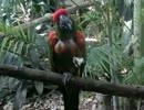 器用な食事をするアカミミコンゴウインコ(千葉市動物公園)