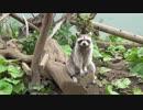 人間くさい座り方のアライグマ