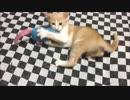 【猫丸一家】ちゃちゃまる日記43