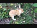 うさぎ好きの楽園 大久野島へ thumbnail