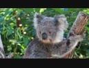 【動物】コアラさん【かわいい】