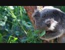 【動物】コアラさんさん【かわいい】 thumbnail