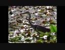 【野鳥】 石神井公園で活動するサギ