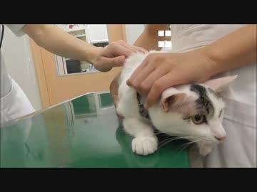 病院にいって注射打たれるのを我慢する猫