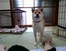 【柴犬】そこゆずって thumbnail