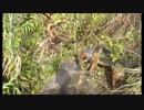 狩猟 猟犬とゆく猪猟  Part61