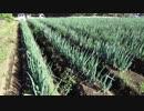 ひよっこ オタク農家 もっと楽にネギ栽培