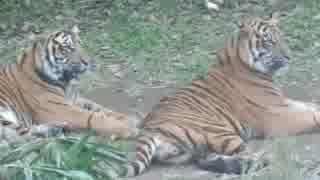立派に成長したスマトラ虎の兄弟(よこはま動物園ズーラシア)