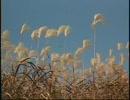 風に揺れるススキ野