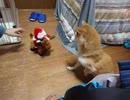 シバイヌとメリークリスマス(アクロバティック・サンタ)