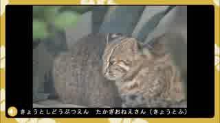 京都市動物園のツシマヤマネコの赤ちゃんガイド