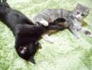 黒猫ピンチ。ドヤ顔で寝技をかけるスコティッシュフォールド。