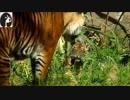 徳川高人の動物チャンネル❈実は可愛い部分もある虎たち動画集