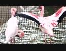 京都市動物園・フラミンゴの水遊び?