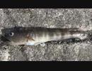 釣り動画ロマンを求めて 119釣目:後編(陸軍桟橋 ※浦賀湾)